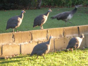 Four guineafowl and a peafowl