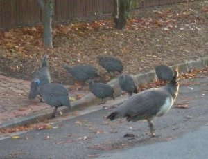The peahen with a number of guineafowl